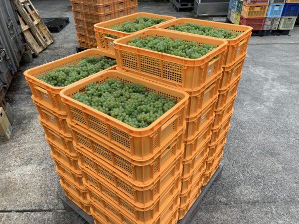 ブドウの出荷