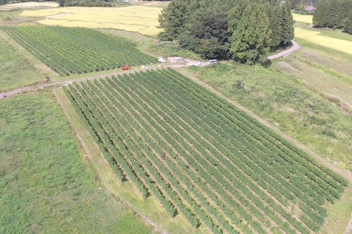 秋田県でワイン用ブドウを栽培