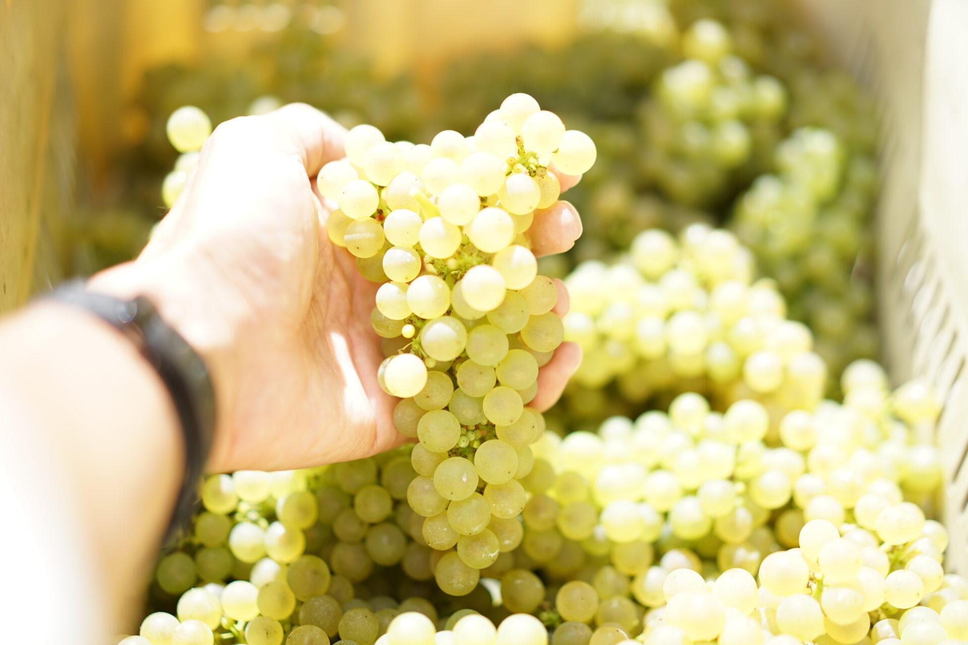 秋田県でワインブドウを栽培